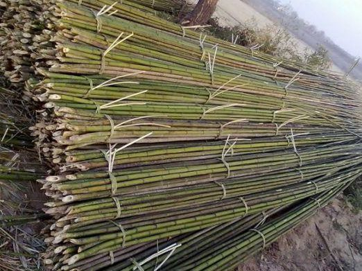 Natural White Bamboo Cane Natural While Bamboo