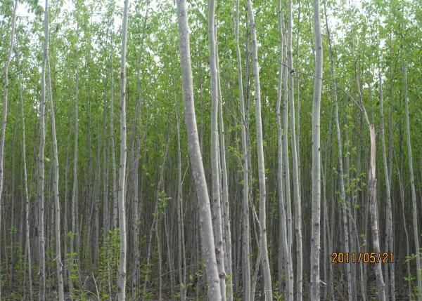 Poplar Wood  MDF