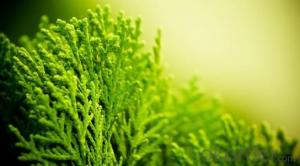 Soluble Seaweed Extract as Plant Growth Agent