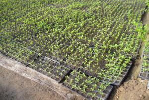 High Quality  Black PS Seeding Trays, Planting Tray, Seedling Trays, Nursery Tray