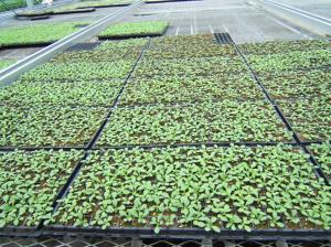 High Quality Recycled Black PS Seeding Trays, Seedling Trays, Nursery Tray,Planting Tray,