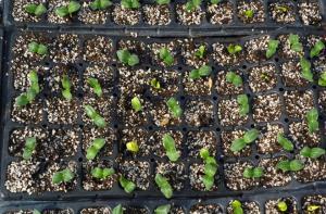 High Quality  Black PS Seeding Trays,Nursery Tray, Planting Tray, Seedling Trays,