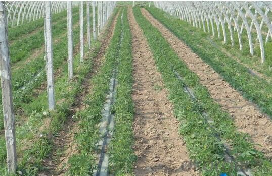 Irrigation Drip Line with Double Blue Lines for grapes
