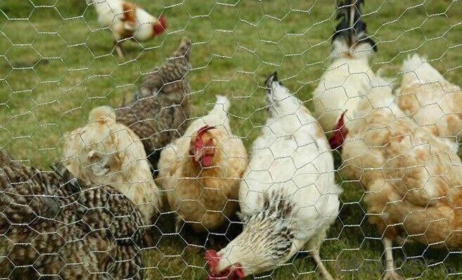 Galvanized Chicken Hexagonal Wire Mesh in High Quality