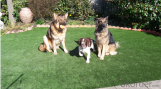 Family garden decorative and for pet turf