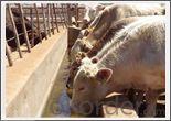 Livestock Living Water Supply in Botswana